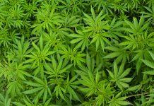 Marihuana könnte der Schlüssel zur Bekämpfung von Fettleibigkeit sein